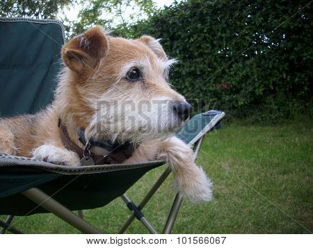 Cute terrier dog sitting in chair looking chilled