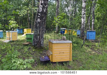 Multicolored Beehives Between Birch Trees