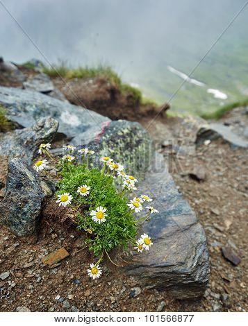 Little Mountain Flowers