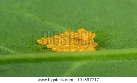 Butterfly Eggs On Green Leaf Macro