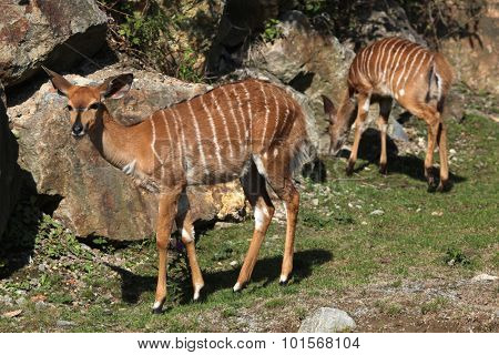 Lowland nyala (Tragelaphus angasii). Wild life animal.