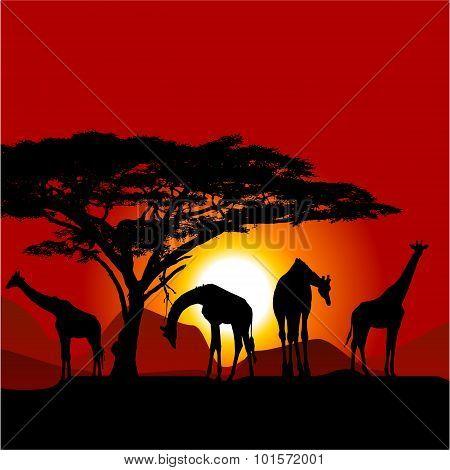 Silhouettes Of Giraffes On African Sunset - Savanna