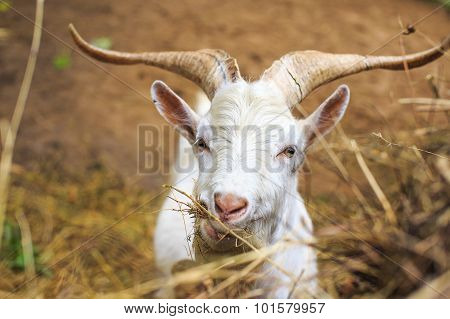 domestic goat with big horns