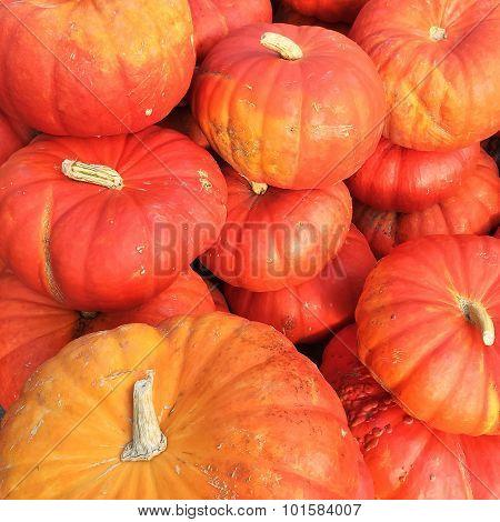 Cinderella Pumpkins Variety