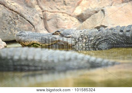 American alligator in Loro Park in Puerto de la Cruz on Tenerife, Canary Islands, Spain