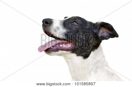 Happy Dog Isolated