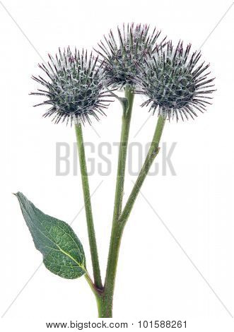 three burdock buds isolated on white background