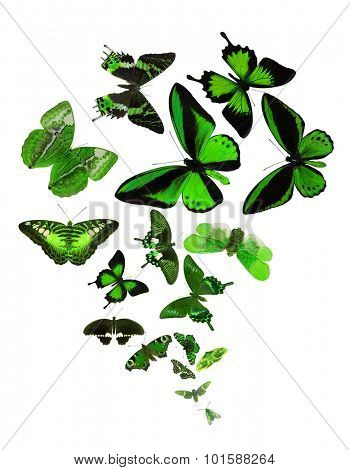 large group of green butterflies isolated on white background