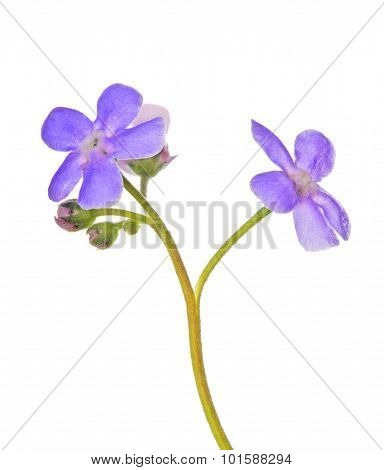 lilac forget-me-not flower isolated on white background