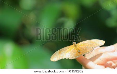 Julia Butterfly (Dryas iulia)