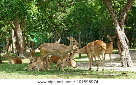Group Of Brow Antlered Deer In The Zoo