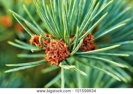 Emerging Pine Cone