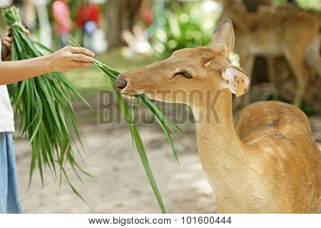 Human Feed The Grass To Brow Antlered Deer In The Zoo