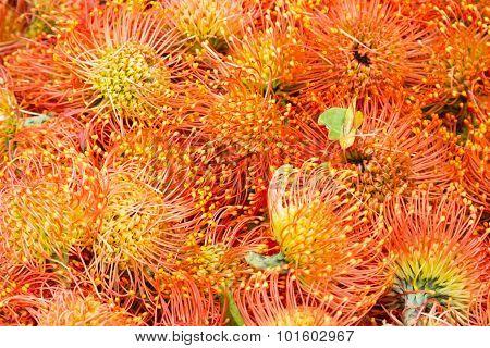 Madeira Flowers. Pincushions or Leucospermum condifolium Flowers.