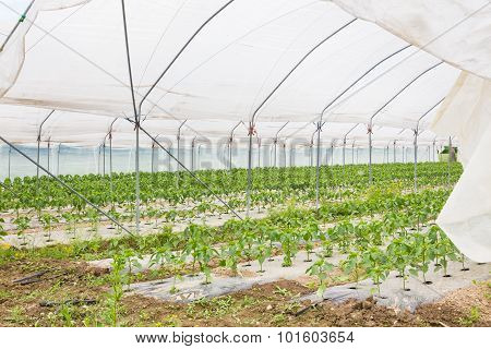 Bio tomatoes growing in the greenhouse.