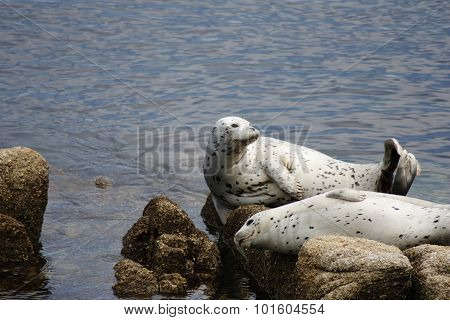 Two Pacific Harbor Seals Basking On Rocks