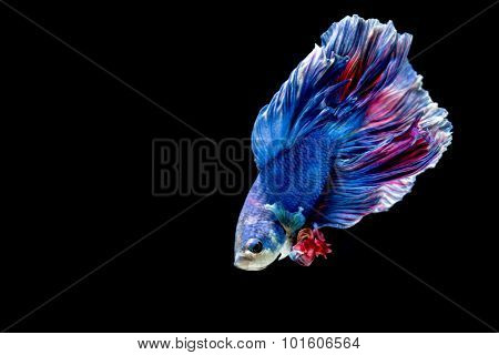 Blue and red siamese fighting fish isolated on black
