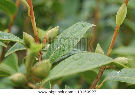 Fresh Rain on Leaves