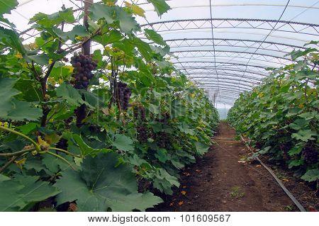Grapevine In Greenhouse