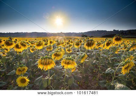 Sunflowers Growing