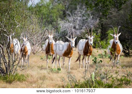 Scimitar Horned Oryx Herd