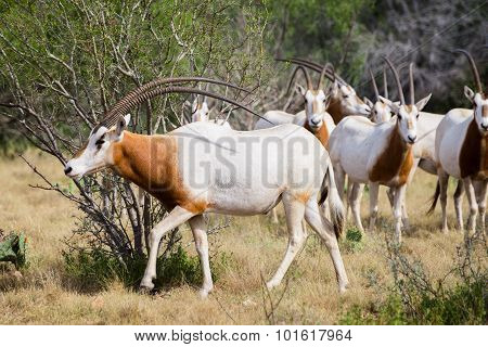 Scimitar Horned Oryx Bull