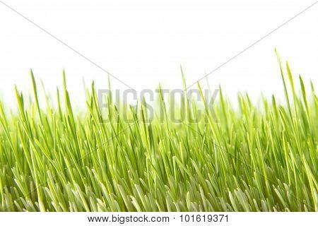 Green Wheat Field Closeup