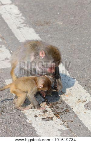 Monkey In Kam Shan Country Park, Kowloon, Hong Kong