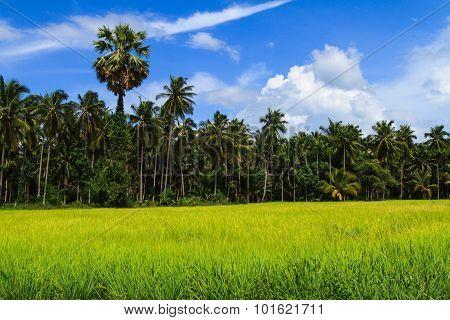 Rice Paddies Field