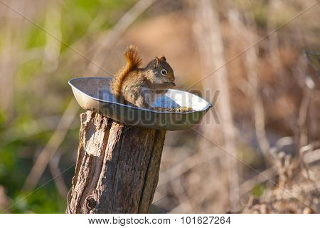 Canadian squirrel eating outdoors - fall season