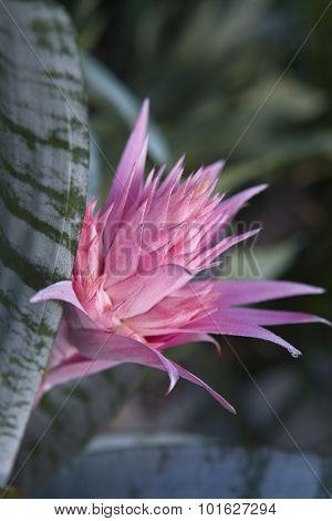Closeup of Aechmea ramosa (Silver vase bromeliad)