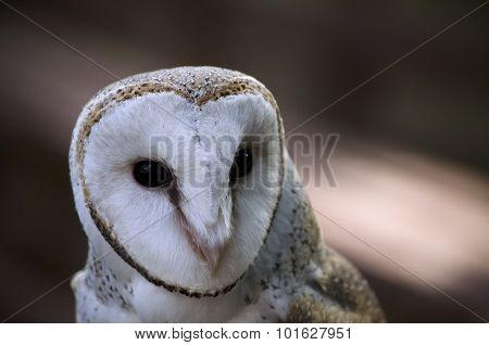 Australian Owl