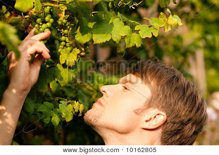 Winemaker checking the grapes