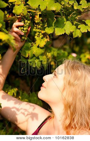 Female winemaker checking the grapes