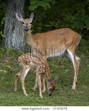 Doe And Offspring