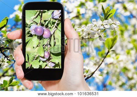 Photo Of Ripe Plums On Tree With Blossoms