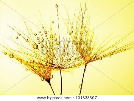 Dandelion seed in golden sunlight