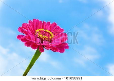 One Pink Zinnia Flower On Stem With Blue Sky