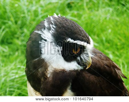 spectacle owl nature green grass shy beauty