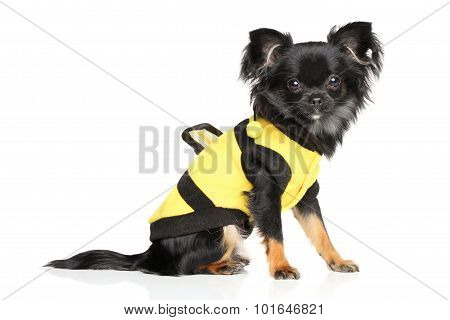 Fashionable Long-haired Chihuahua