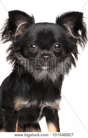 Close-up Of Chihuahua