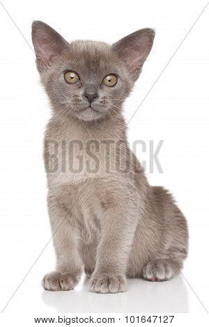 Burma Kitten On A White Background