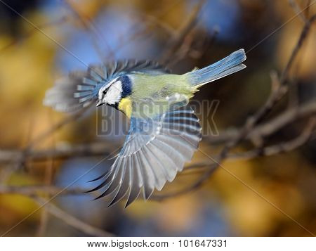 Flying Blue Tit Against The Bright Colorful Autumn Background