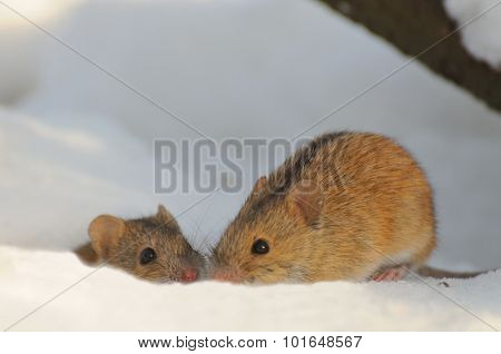 Couple Of Kissing Mice In Snow