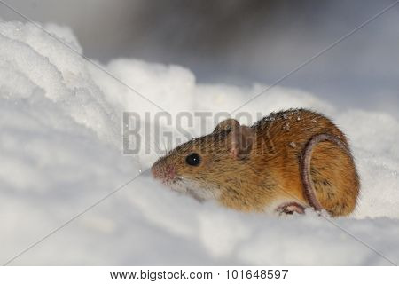 Striped Field Mouse In Snow With Circle Of Tail