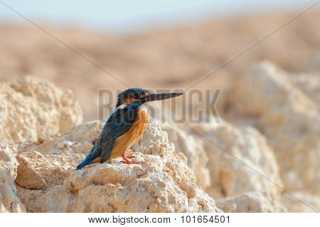 Emerald Kingfisher On Red Sea Coast Stone. Sinai, Egypt.