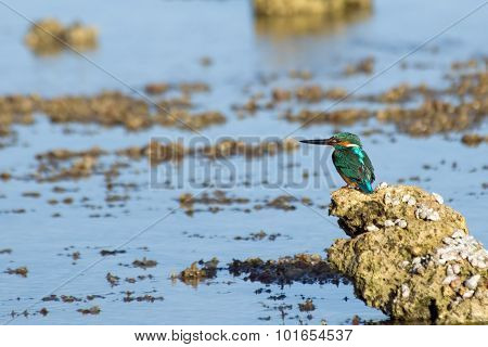 Emerald Kingfisher On Coral Reef Of Red Sea