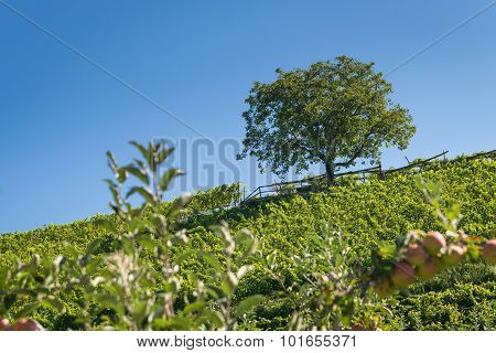 hill with apple trees with single tree on top at blue sky