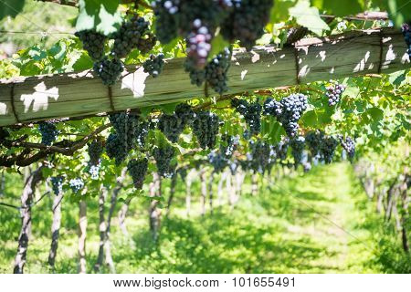 grapes hanging on vines at wine culivation in italy