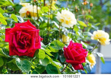 Rose Flowers Spring View